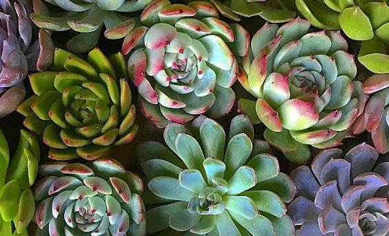 tendances tendances tendances beauté plantes succulentes